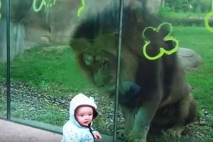 Un inmenso león trató de atacar a un bebé a través de un vidrio en un zoológico y deja a los padres atónitos