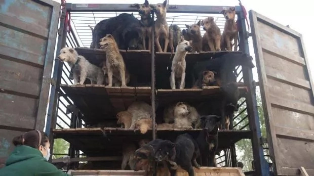 430 Dogs Were Stolen From Their Owners In Order To Eat Them, But Then These Heroes Appeared On Their Way