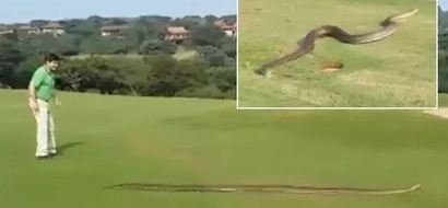 """Slithering"" surprise! Huge python passing through a golf course causes panic"