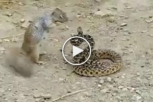 Badass squirrel attacking bull snake is something you've never seen before