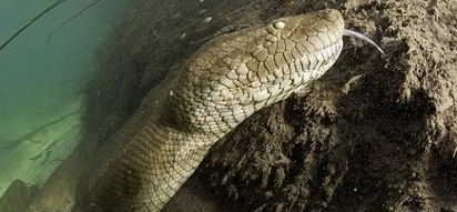 This man met a giant anaconda in the jungles. What he did next to the huge snake is shocking! PHOTOS