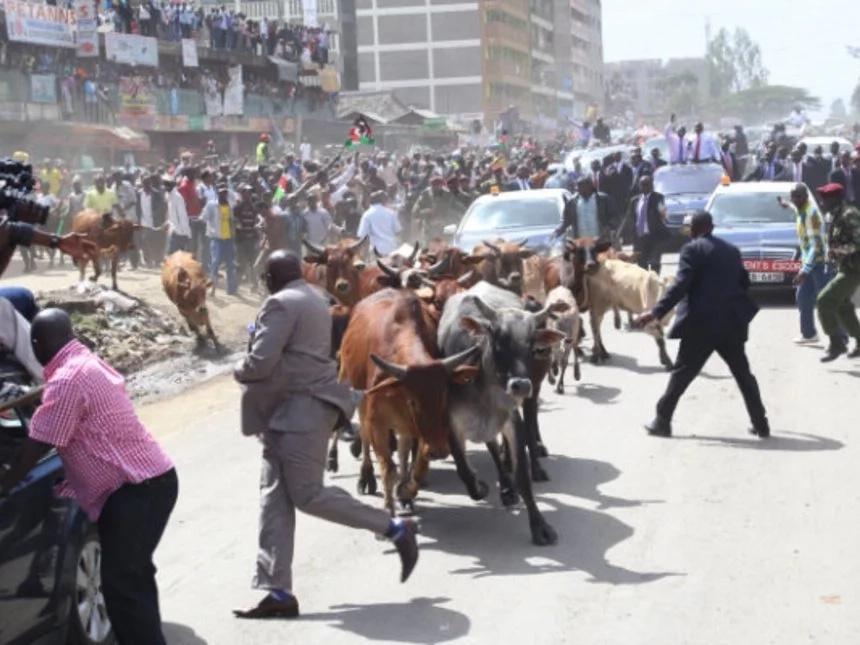 Kiambu lady receives UNEXPECTED GIFT after UHURU'S SPEEDING MOTORCADE killed her goat