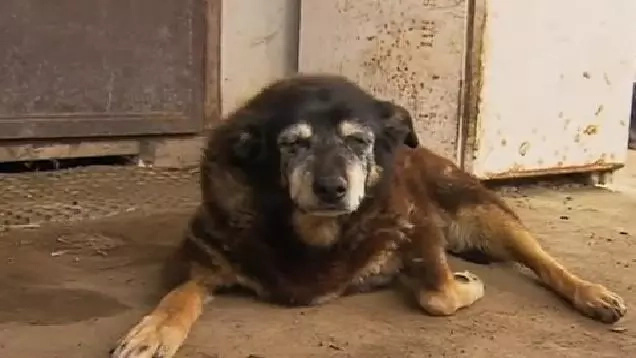This Could Be The Oldest Dog In The World, But Her Owner Can't Prove It
