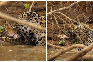 Mira el impresionante momento en que un jaguar se come a un cocodrilo
