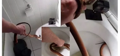 Morning of terror! Family wakes up to find venomous python hiding in their toilet, calls snake catcher