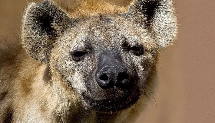 Naivasha residents up in arms after hyenas exhume and eat bodies