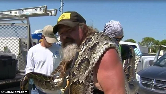 Hunter snags 16-foot python in Everglades snake hunt