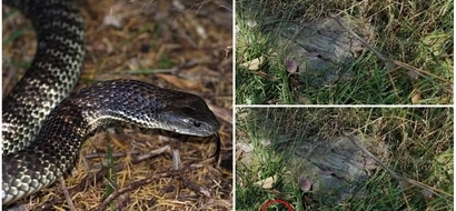 Can you see it? Man snaps one of the deadliest snake hiding in grass, but only a handful can actually spot it