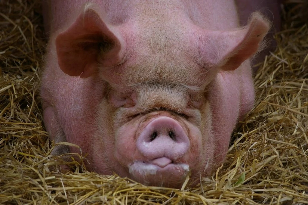 Pregnant Texas Woman Claims She Was Raped By A Pig