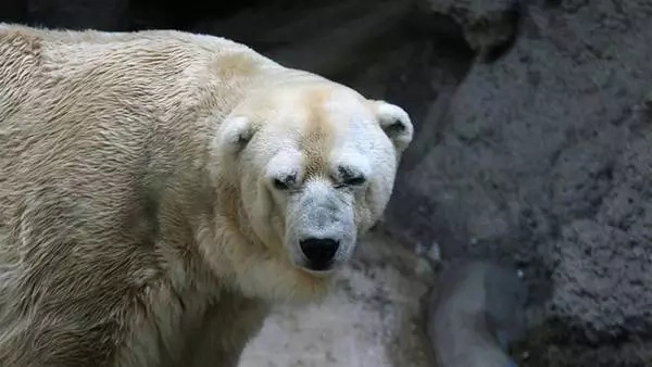 Muere el último oso polar de Argentina