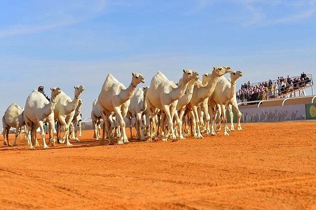 Untouched natural beauty! 300,000 camels compete in beauty pageant to win 31 MILLION dollars (photos)