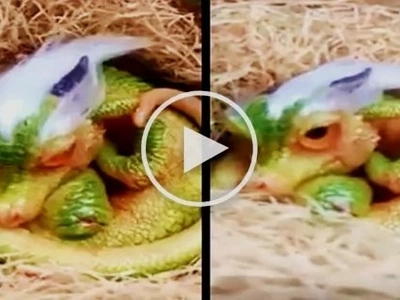Unbelievable video of a cute baby dragon goes viral! Watch the shocking clip here!