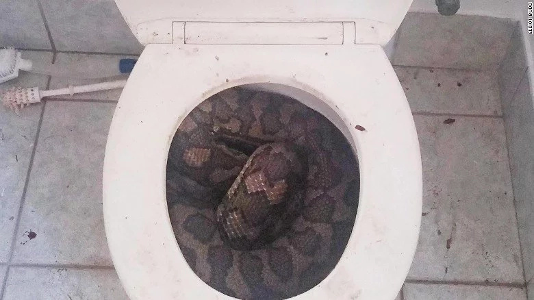 Snakes looking for a drink slither into toilets