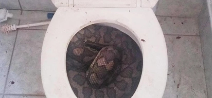Snake slithers out of toilets becomes your next nightmare