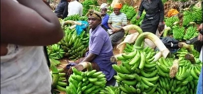 India tempts Kisii farmers to abandon bananas