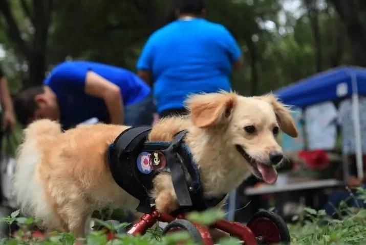 Perrito nació sin sus patas delanteras y al fin puede caminar