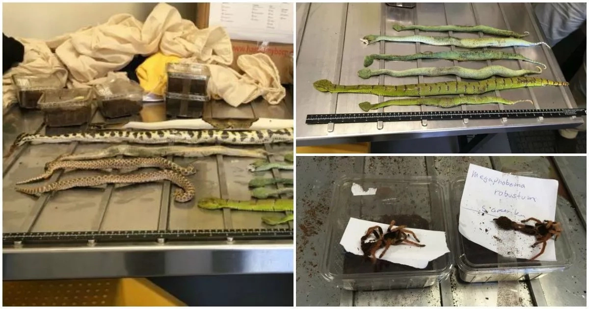 Creepy and crawly! Police find shoe boxes full of deadly SNAKES, spiders and SCORPIONS (photos)