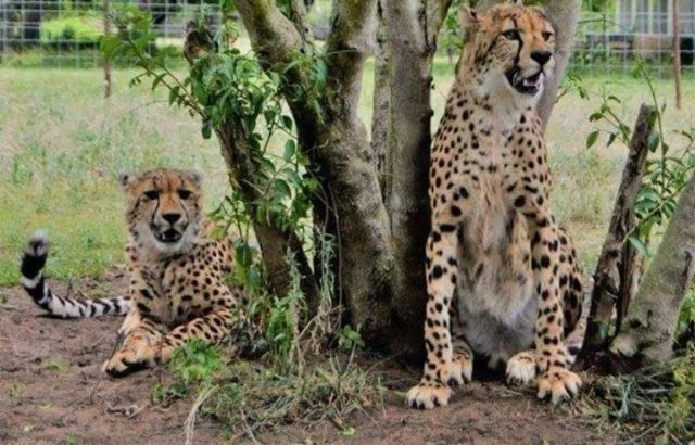 Father saves 14-year-old son from jaws of CHEETAH in South Africa (photos)