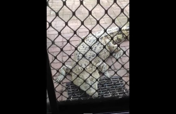 VIDEO: Woman feeds her pet crocodile inside her home