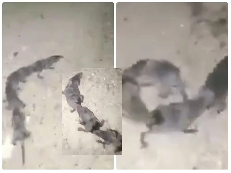 Footage of 4 fat RATS running around while glued to each other sparks wild debate on social media (photos)