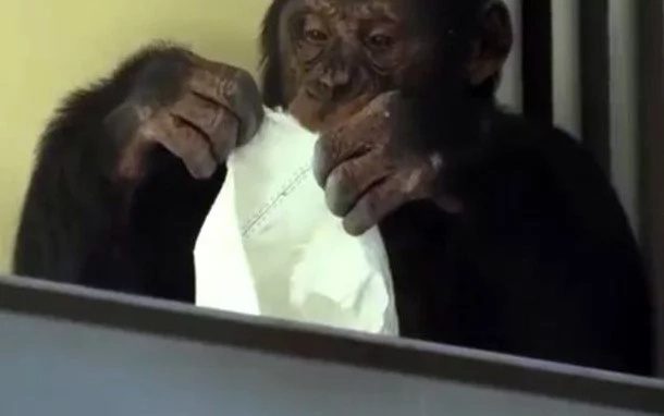 If You Marry This Chimpanzee Your House Will Always Be Clean
