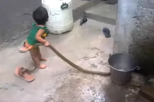 He wasn't afraid of playing with a dangerous snake at all!