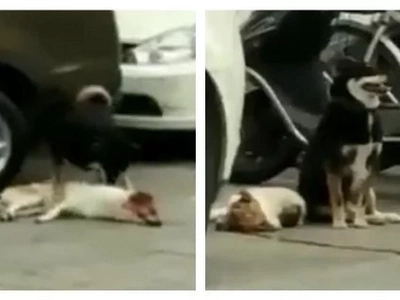 This poor dog got into a car accident. His buddy did his best to revive him and didn't leave his side at all!