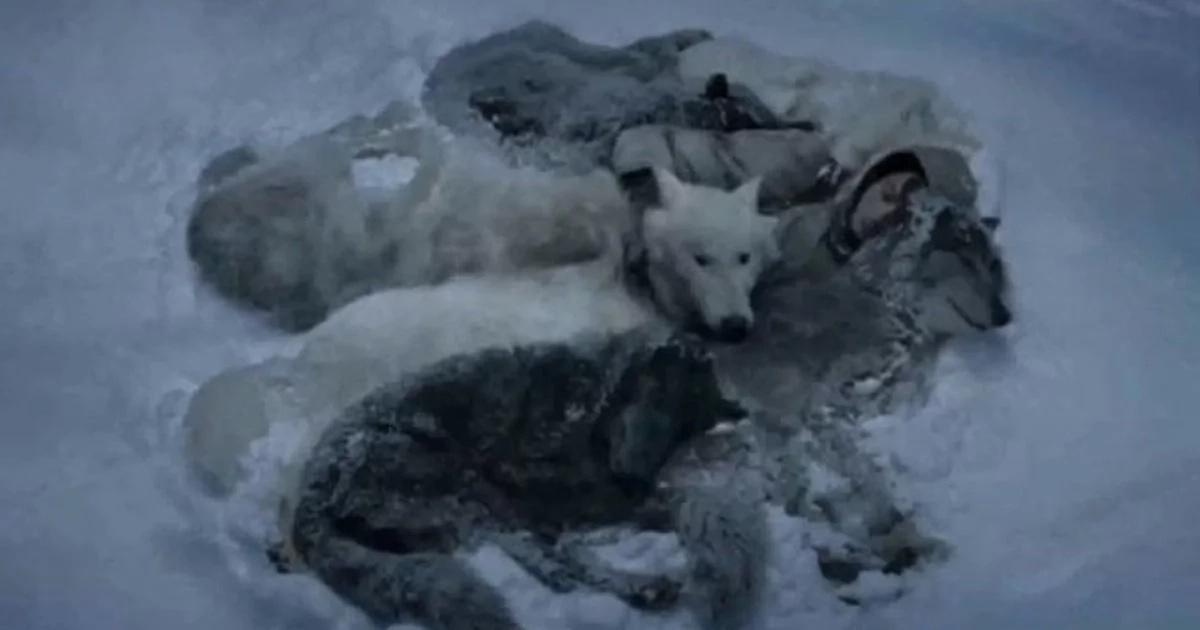 L'homme perdu dans la forêt est tombé dans la neige quand soudain une meute de loups est apparue