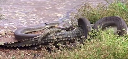 Watch this python RUTHLESSLY devouring a crocodile in epic battle (photos, video)