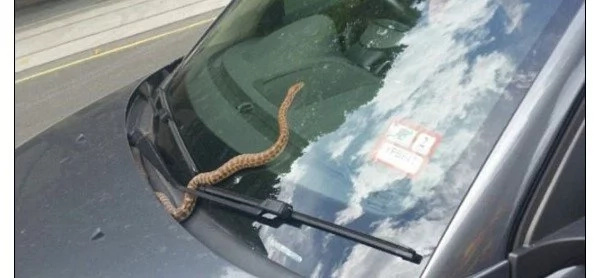 Python jumps on car's FRONT WINDOW as woman drives through a an urban street (photos, video)