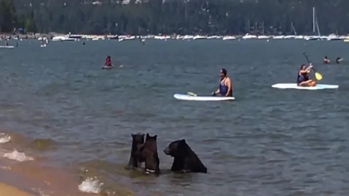 3 bears swim in the lake among unsuspecting people (video)