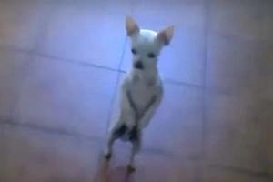 Este bello Chihuahua bailador de flamenco pondrá una sonrisa en tu cara