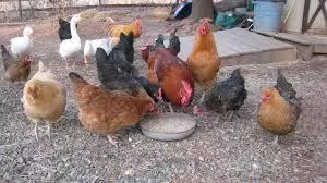 Teenager in Busia feeds chickens his cut genitals
