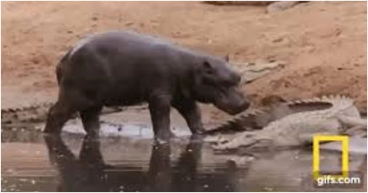 Fun and games! Baby hippo uses full-grown crocodile as a toy