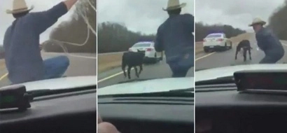 Cowboy Rides On The Hood Of A Car To Catch A Runaway Calf