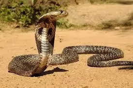 Politicians in Machakos panic after cobra appears in rally