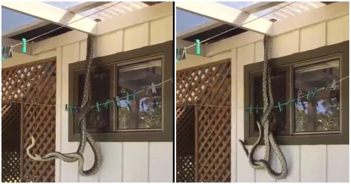 Man dazed to find two enormous pythons getting intimate in his backyard (photos, video)