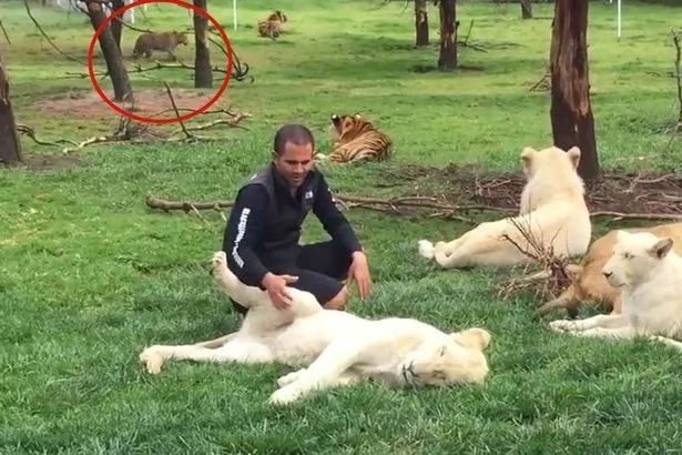 Tiger saves a zookeeper from being eaten by leopard