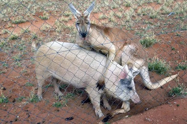 This kangaroo loves pig, has sex with it for more than one year