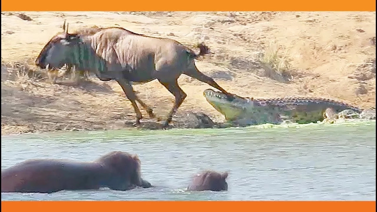 Astonishing footage shows 2 hippos coming to the rescue of wildebeest from croc's lethal jaws