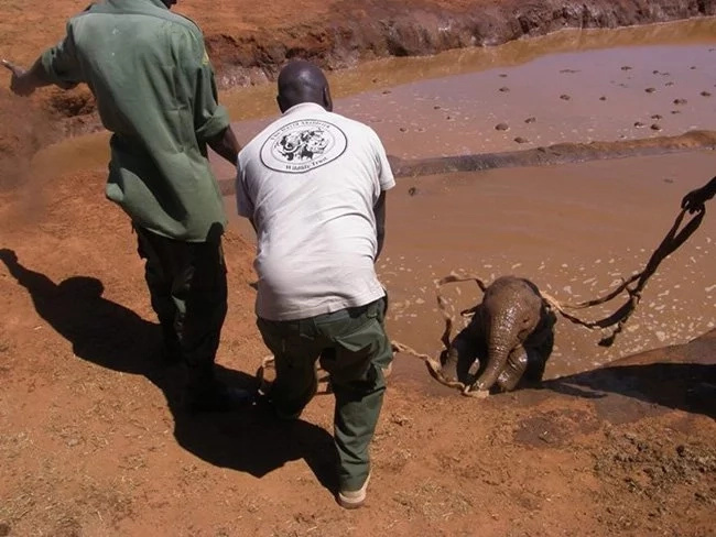 The desperate parents of a drowning baby elephant resort to human assistance