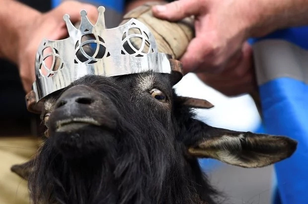 The bemused goat is crowned king. Photo: Reuters