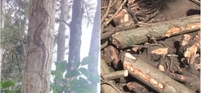 Snake-like-tree blamed for deaths of 5 siblings in Bungoma uprooted, compound cleansed