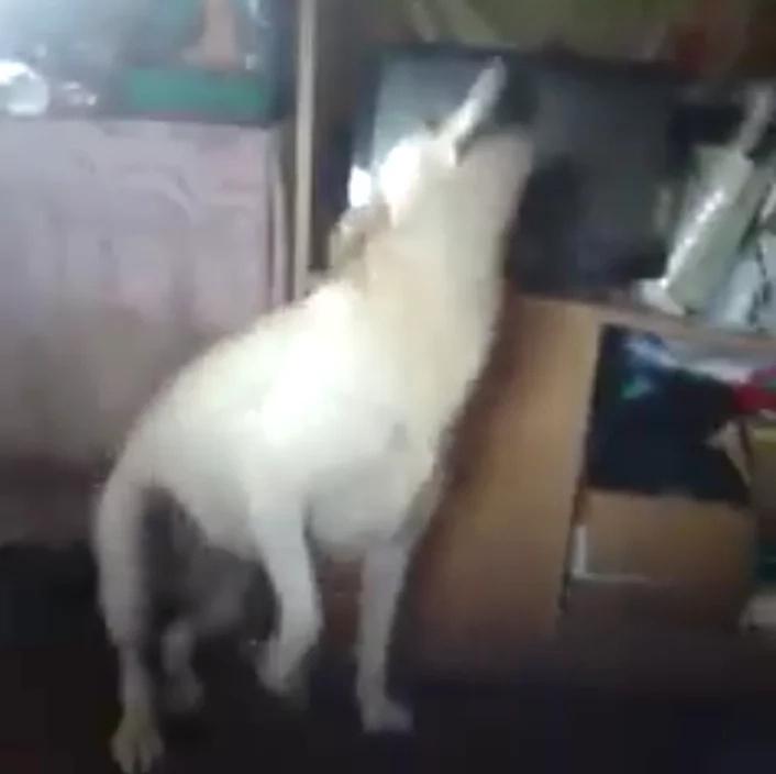 Dog dancing to 'Twerk it like Miley' will make you laugh