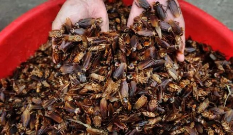 Cockroach milk more nutritious than cow's - says scientists