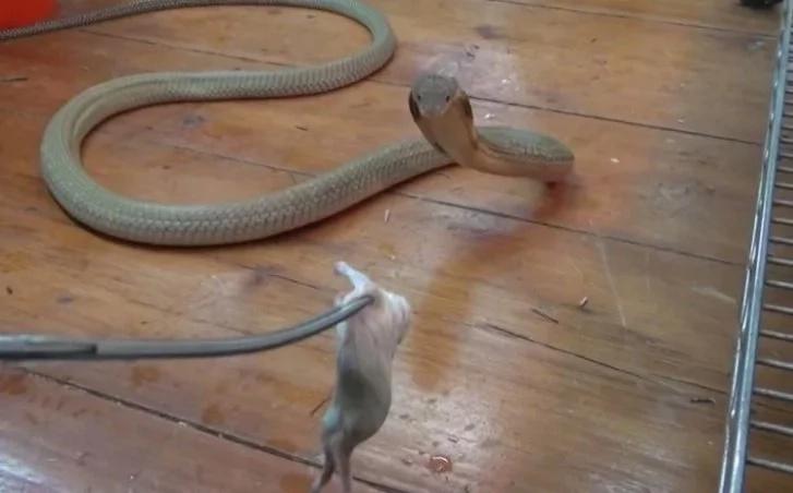 Este hombre juega con cobra real, mientras esta lo ataca