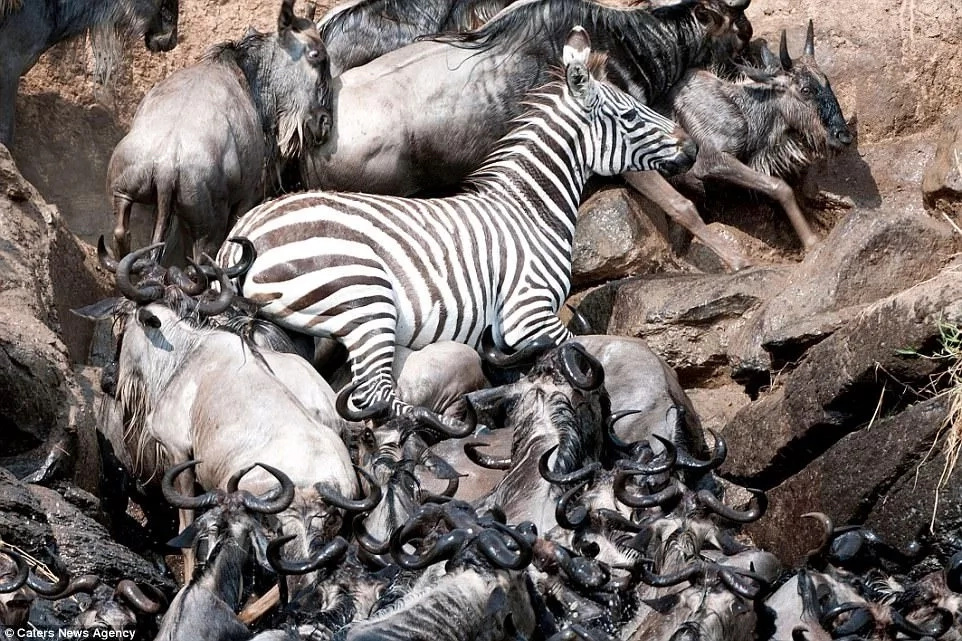 It had to climb on the wildebeest to avoid drowning. Photo: Caters News Agency