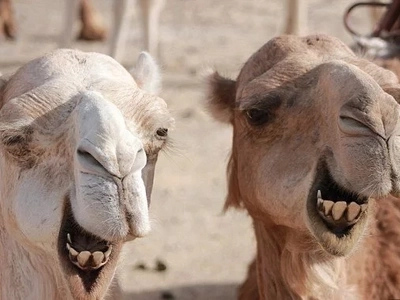 Wait WHAT? Camels In Iran Are Being Issued Licence Plates!