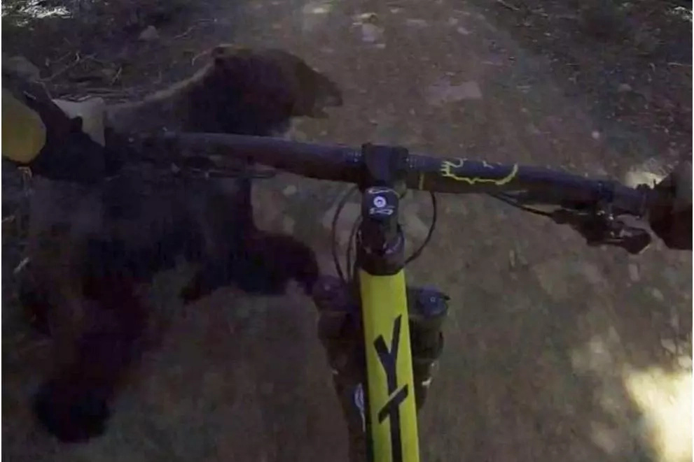 Guy crashes into a bear on his bike with his