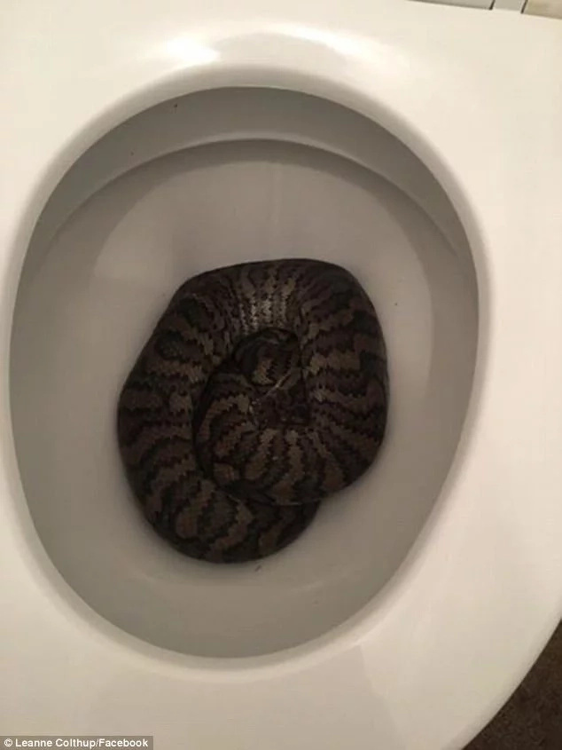 Can't leave, won't leave! Giant python slithers into family's toilet bowl, totally refuses to leave